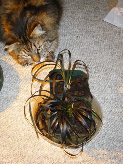 Bianca can't get enough (Allium ophiopogon)