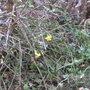 Winter Jasmine. (Jasmine nudiflora)