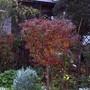 Little Cherry tree. (Prunus)
