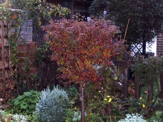 Standard cherry (Prunus)