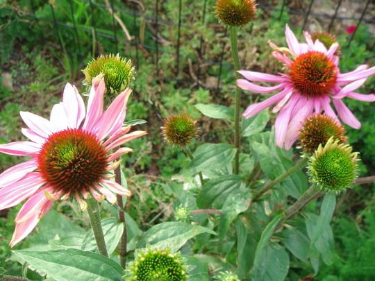 Echinacea - New York, Nov 2008