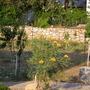 Bird of Paradise (tree) (caesa gillesii)
