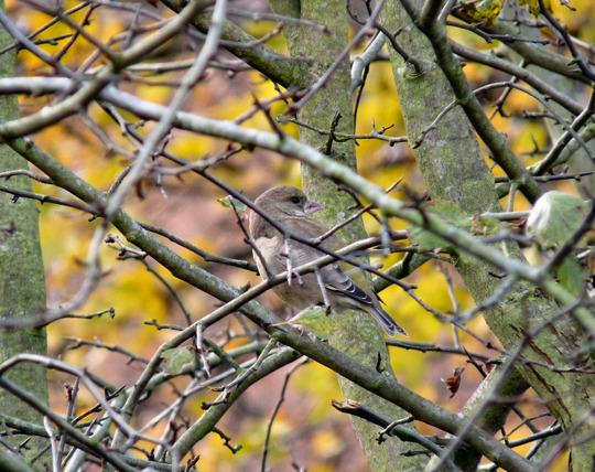 Juvenile Chaffinch in Hawthorn