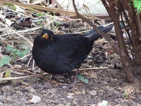 'Freaky' blackbird again