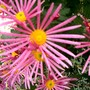 Pink Chrysanth in 2007 (Chrysanthemum maximowiczii)