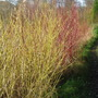 Dogs Wood - Contrasting Colours (Cornus stolonifera Flaviramea - Golden Dog Wood)