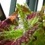 Flowering Coleus (Solenostemon scutellarioides (Coleus))