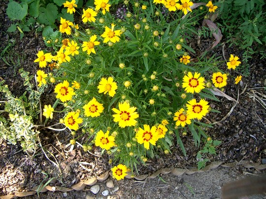 Coreopsis in 2007 (Coreopsis goldfink)
