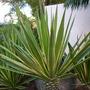 Agave americana 'variegata' (Agave americana 'variegata')