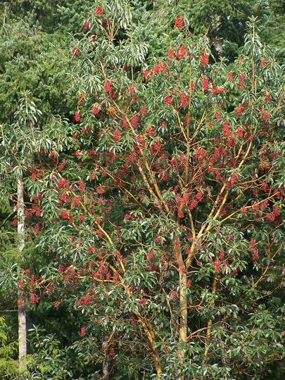 Madrona Berries