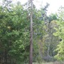 large cedar