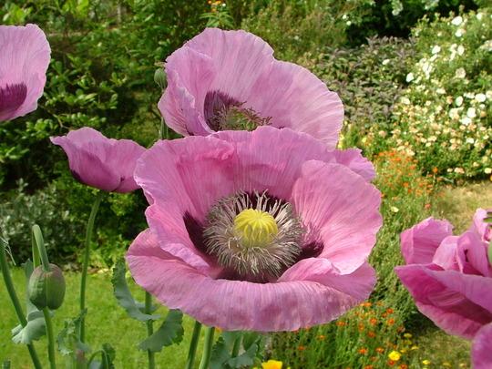 Opium poppy (Papaver somniferum)