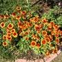 Gaillardia in 2007 (Gaillardia aristata (Blanketflower))