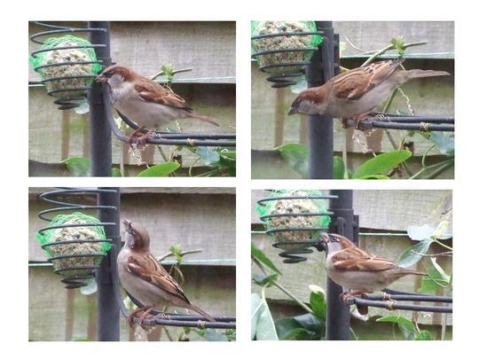 Sparrows - at last!