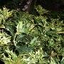 Osmanthus heterophyllus 'Goshiki' (Osmanthus heterophyllus (Chinese Holly))