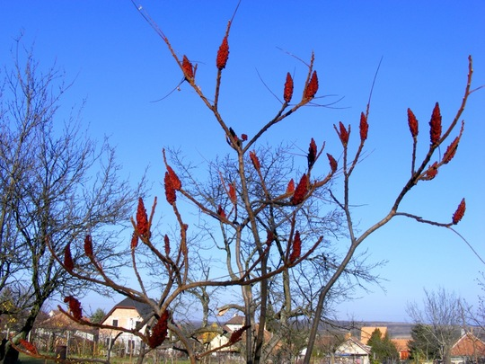 Rhus Typhina silhouetted against the blue November sky. (Rhus typhina (Stag's horn sumach))