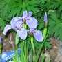 Dwarf Arctic Iris (Iris setosa var arctica)