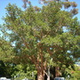 Ficus sycomorus - Sycamore Fig (Ficus sycomorus - Sycamore Fig)