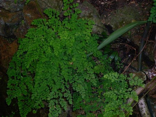 Adiantum capillus-veneris - Maiden Hair Fern (Adiantum capillus-veneris - Maiden Hair Fern)