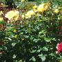Dad's Roses