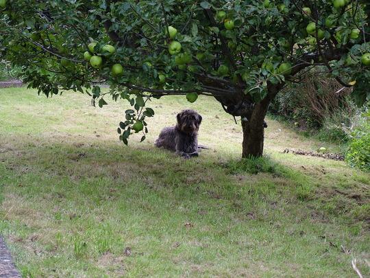 Daisy and the Apple tree