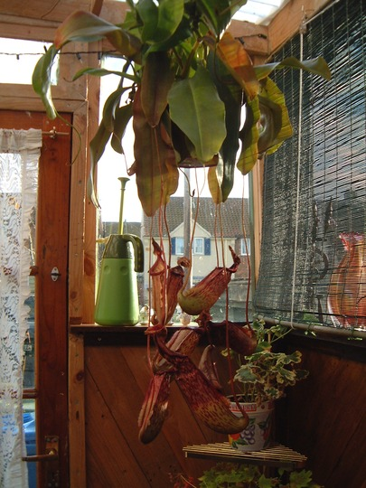 191108_003.jpg (Nepenthes ventricosa (Pitcher Plant))