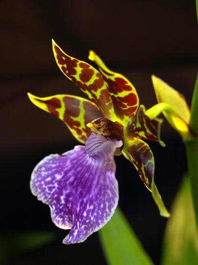 Zygopetalum 'Pirano Titanic' orchid