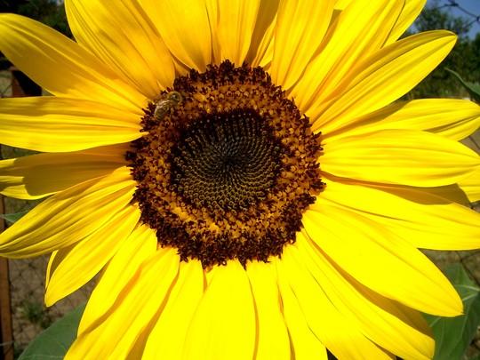 IMGP4189.jpg (Helianthus annuus (Sunflower))