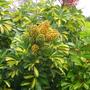 Schefflera arbicola - Variegated (Schefflera arbicola - Variegated)