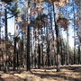 Ponderosa Pines after fire in the summer of 2007