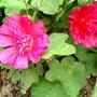 IMGP4313.jpg (Alcea rosea (Black Hollyhock))