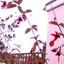 Climing Fuchsia