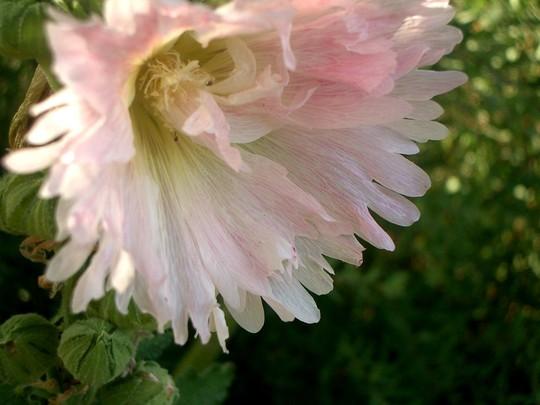 IMGP4144.jpg (Alcea rosea (Black Hollyhock))