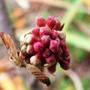 Winter flowering Viburnum (Viburnum bodnantese)