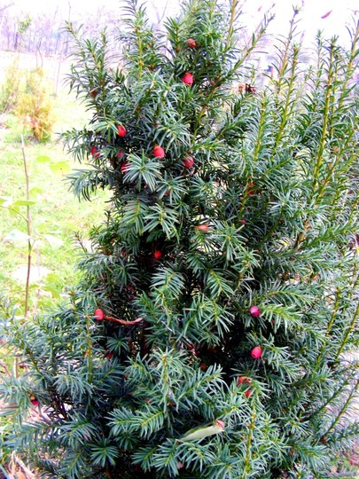 Irish yew with berries (Taxus baccata (Yew))