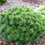 Pinus mugo 'Winzig' (common name; Mugo pine, or Dwarf mountain pine)