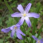 IMGP3603.jpg (Chionodoxa luciliae (Glory of the snow))