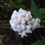 Viburnum farreri 'Nanum' 2 (Viburnum farreri 'Nanum')