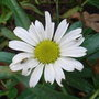 Leucanthemum 'Little Miss Muffet' 2 (Leucanthemum 'Little Miss Muffet')