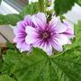 A garden flower photo (Lavatera arborea (Malva))