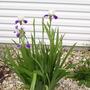 Iris's (Iris (sibirica cultivar ))