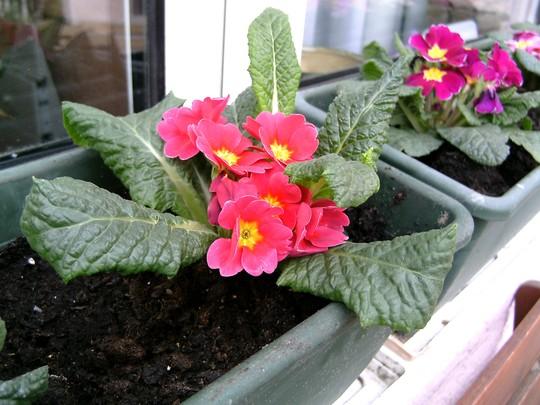 PICT0006.jpg (Primula variabilis)