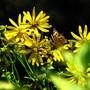 Warm memories (silphium perfoliatum)