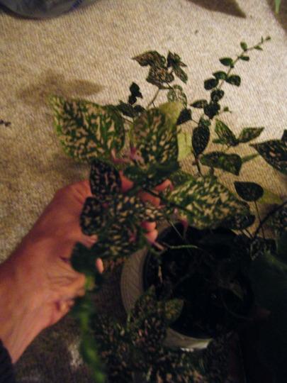 Polka Dot Plant blooming