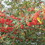 Cotoneaster (Cotoneaster)