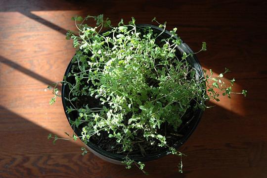 Marjoram in a Pot (Origanum majorana (Knotted Marjoram))