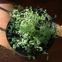 Dsc_1057_marjoram_in_a_pot