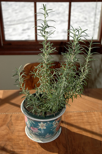 Rosemary (Rosmarinus officinalis (Rosemary))