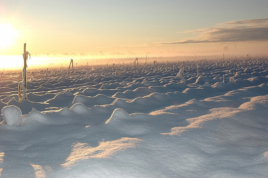 Cornfield at Sunrise