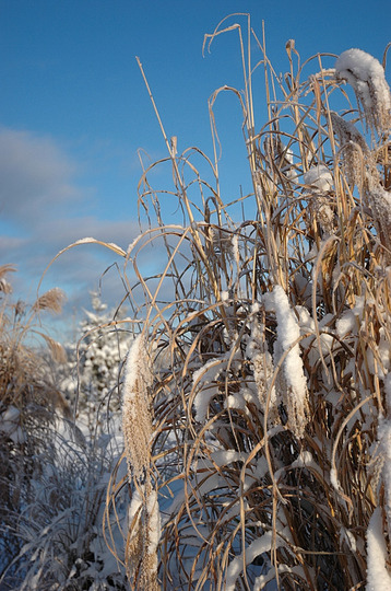 Ornamental Grass in Winter